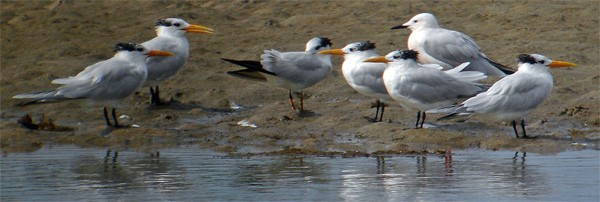 West African Crested Terns seen well during the 2006 Birdquest Gambia & Senegal tour