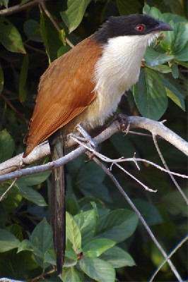 Senegal Coucal seen well during the 2006 Birdquest Gambia & Senegal tour