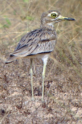Senegal Thick-knee seen well during the 2006 Birdquest G