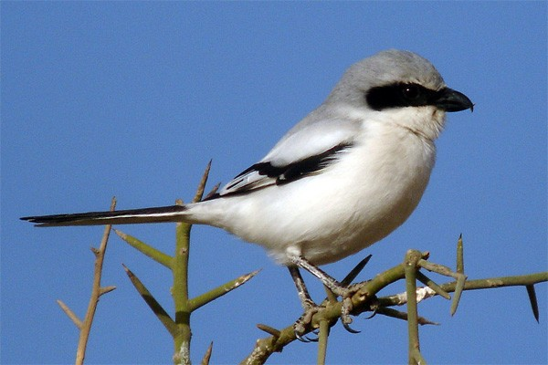 Southern Grey Shrike seen well during the 2006 Birdquest Gambia & Senegal tour