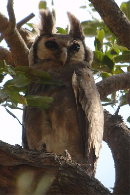 Verreaux's Eagle Owl seen well during the 2006 Birdquest Gambia & Senegal tour