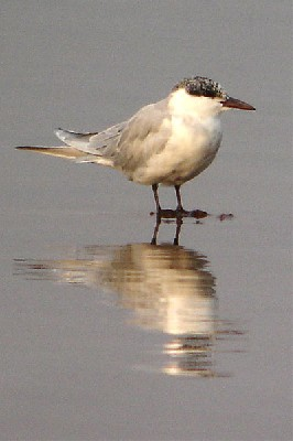 Whiskered Tern seen well during the 2006
