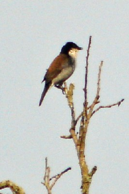 White-breasted Negrofinch