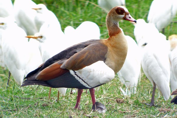 Egyptian Goose - seen well during the 2006 Birdquest Serengeti & Ngorongoro tour