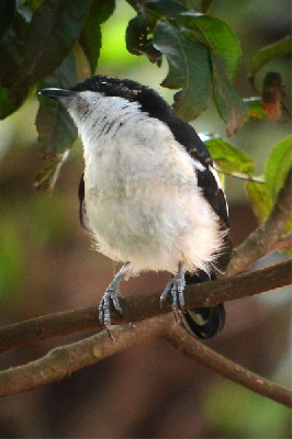 Tropical Boubou - seen well during the 2006 Birdquest Serengeti & Ngorongoro tour