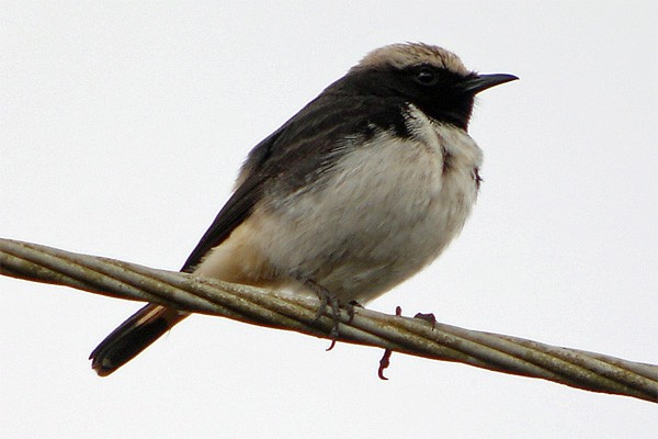 Schalow's Wheatear