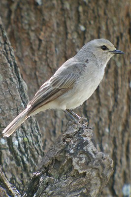 African Grey Flycatcher seen well during the 2006 Birdquest Serengeti & Ngorongoro tour
