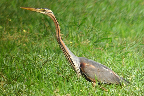 Purple Heron seen well during the 2006 Birdquest Serengeti & Ngorongoro tour