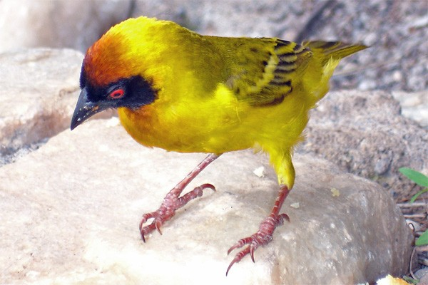 Vitelline Masked Weaver seen well during the 2006 Birdquest Serengeti & Ngorongoro tour