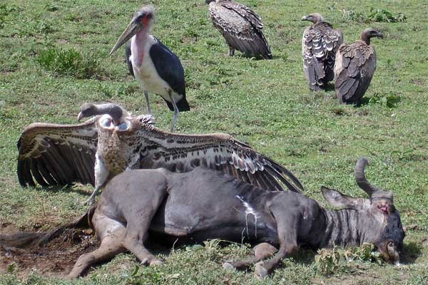 Ruppell's Griffon Vulture seen well during the 2006 Birdquest Serengeti & Ngorongoro tour