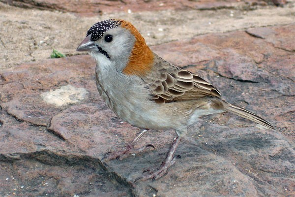 Speckle-fronted Weaver seen well during the 2006 Birdquest Serengeti & Ngorongoro tour