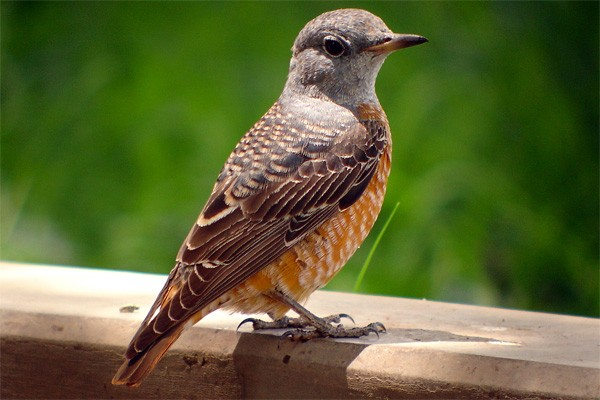 Common Rock Thrush seen well during the 2006 Birdquest Serengeti & Ngorongoro tour