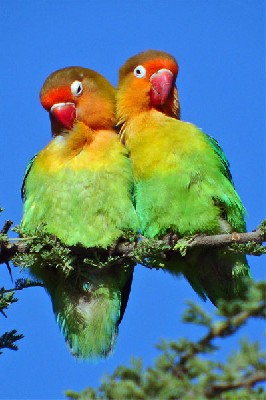 Fischer's Lovebirds seen well during the 2006 Birdquest Serengeti & Ngorongoro tour