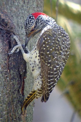 Nubian Woodpecker seen well during the 2006 Birdquest Serengeti & Ngorongoro tour