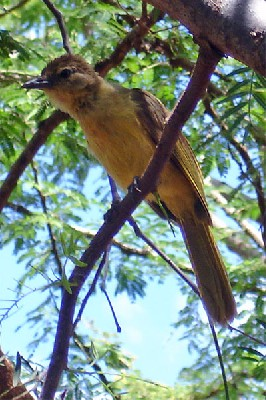 Yellow-bellied Greenbul seen well during the 2006 Birdquest Serengeti & Ngorongoro tour