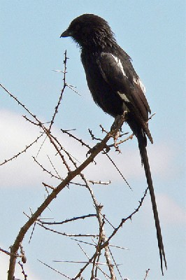 Magpie Shrike seen well during the 2006 Birdquest Serengeti & Ngorongoro tour