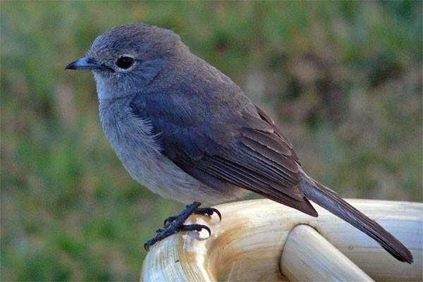 White-eyed Slaty-Flycatcher seen well during the 2006 Birdquest Serengeti & Ngorongoro tour