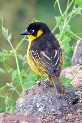 Baglafecht Weaver seen well during the 2006 Birdquest Serengeti & Ngorongoro tour
