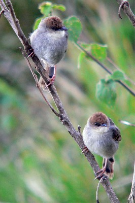 Hunter's Cisticola seen well during the 2006 Birdquest Serengeti & Ngorongoro tour