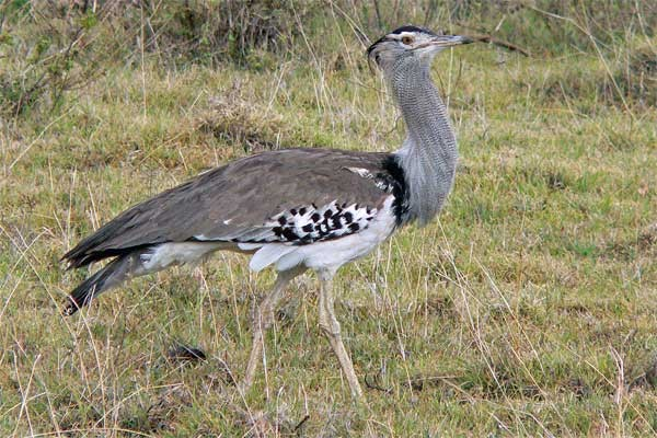 Kori Bustard seen well during the 2006 Birdquest Serengeti & Ngorongoro tour