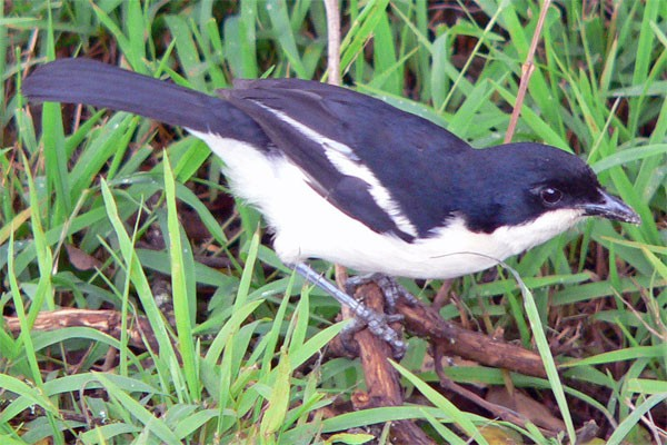 Tropical Boubou seen well during the 2006 Birdquest Serengeti & Ngorongoro tour