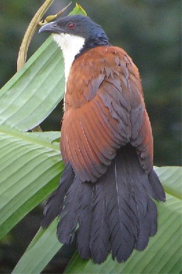 Blue-headed Coucal