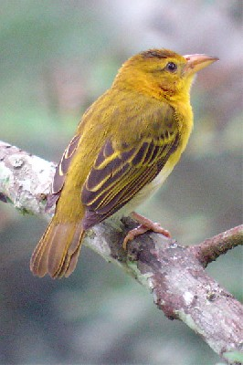 Príncipe Golden Weaver