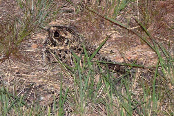 Swamp Nightjar
