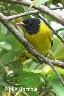 Abyssinian Black-headed Oriole seen well during the Birdquest Ethiopia 2006 tour