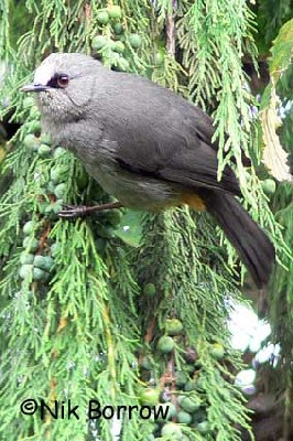 Abyssinian Catbird seen well during the Birdquest Ethiopia 2006 tour