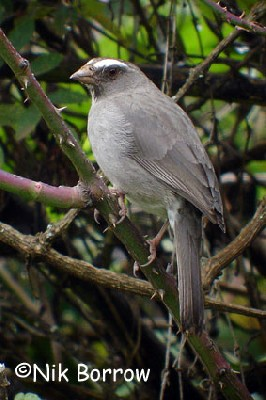 Brown-rumped Seedeater seen well during the Birdquest Ethiopia 2006 tour