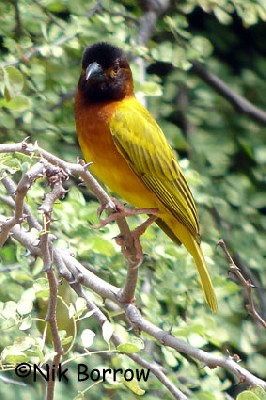 Juba Weaver seen well during the Birdquest Ethiopia 2006 tour