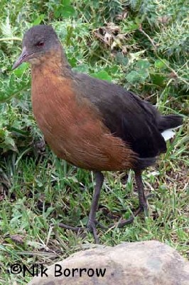 Rouget's Rail seen well during the Birdquest Ethiopia 2006 tour