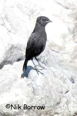 Ruppell's Black Chat seen well during the Birdquest Ethiopia 2006 tour