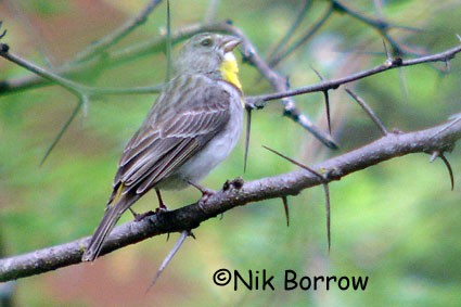 Salvadori's Seedeater seen well during the Birdquest Ethiopia 2006 tour
