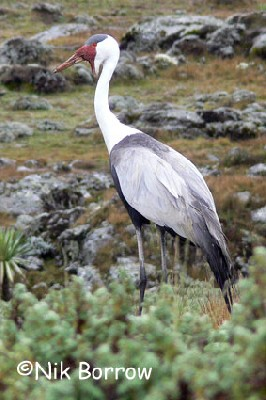 Wattled Crane seen well during the Birdquest Ethiopia 2006 tour