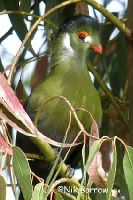 White-cheeked Turaco seen well during the Birdquest Ethiopia 2006 tour