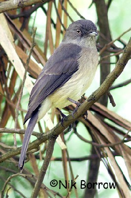 Abyssinian Slaty Flycatcher seen well during the Birdquest Ethiopia 2006 tour
