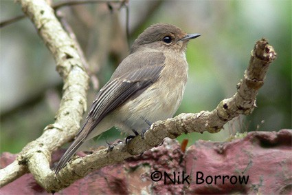 African Dusky Flycatcher seen well during the Birdquest Ethiopia 2006 tour