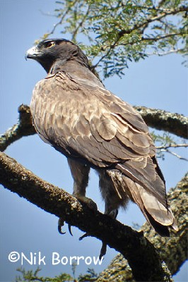This rare dark morph Ayres's Hawk Eagle was seen well during the Birdquest Ethiopia 2006 tour