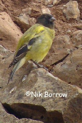 Ethiopian Siskin seen well during the Birdquest Ethiopia 2006 tour