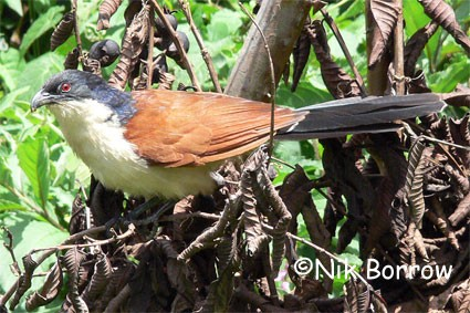 Blue-headed Coucal seen well during the Birdquest Ethiopia 2006 tour