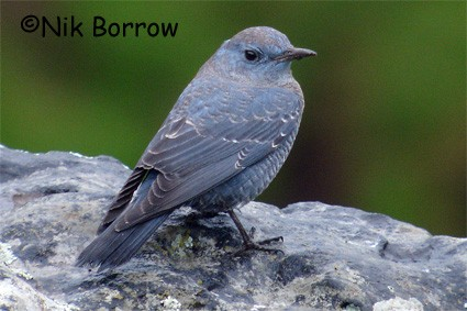 Blue Rock Thrush seen well during the Birdquest Ethiopia 2006 tour