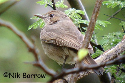 Brown-tailed Rock-Chat seen well during the Birdquest Ethiopia 2006 tour