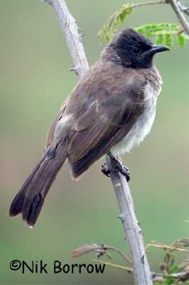 Common Bulbul seen well during the Birdquest Ethiopia 2006 tour