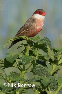 Common Waxbill seen well during the Birdquest Ethiopia 2006 tour