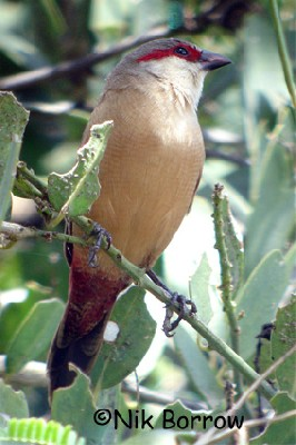Crimson-rumped Waxbill seen well during the Birdquest Ethiopia 2006 tour