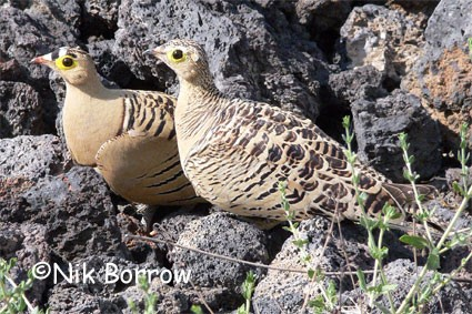 Four-banded Sandgrouse seen well during the Birdquest Ethiopia 2006 tour