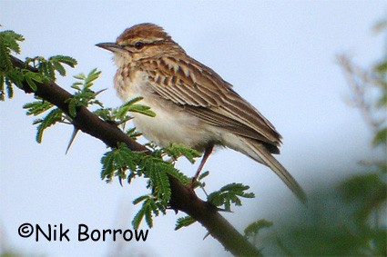Gillett's Lark seen well during the Birdquest Ethiopia 2006 tour