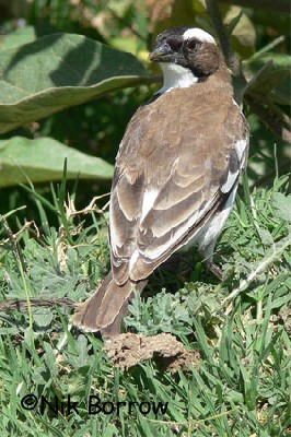 White-browed Sparrow-Weaver seen well during the Birdquest Ethiopia 2006 tour